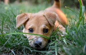 Why do dogs eat grass - puppy eating grass